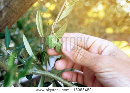 Farmer hand picking fresh green olive fruit from tree branch in the morning selective focus with sunlight