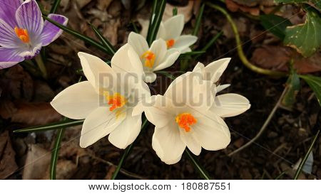 Crocus Flowers White Blooming in Early Spring Macro Up Close Beautiful Lovely