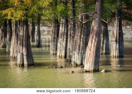 Cypress trees with green foliage in a green swamp