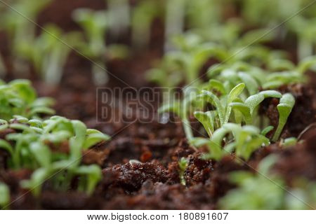 Green sprouts growing from seeds