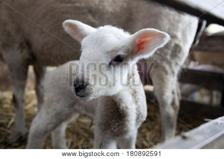 closeup of young lamb on straw of barn with ewe in the background on organic farm in the netherlands