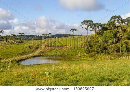 Araucaria In A Farm Field And Small Lake