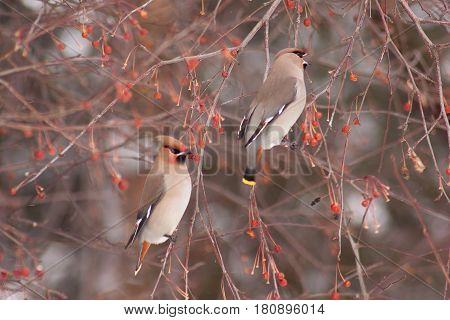 Two cedar waxwings eating an crab apples. Beautiful winter forest.