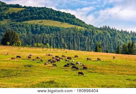 Few Cows Grazing On Hillside Meadow