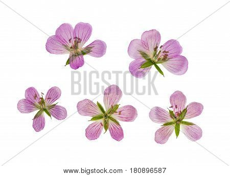 Pressed and dried flower siberian geranium (geranium sibiricum) isolated on white background. For use in scrapbooking floristry (oshibana) or herbarium.