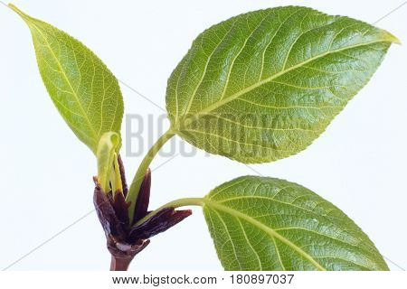 Buds and spring leafs on the twig poplar. Closeup.