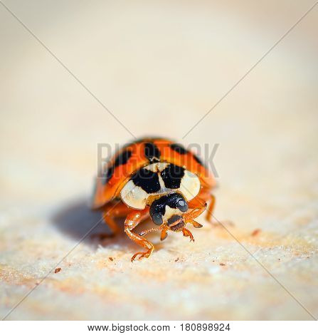 Ladybird beetle on the natural background of wood. Ladybug close up.  Macro photo of insect ladybug.