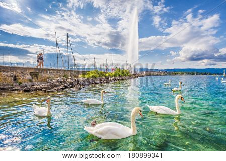 Swans On Lake Geneva With Famous Jet D'eau Water Fountain In The Background In Summer, Geneva, Switz