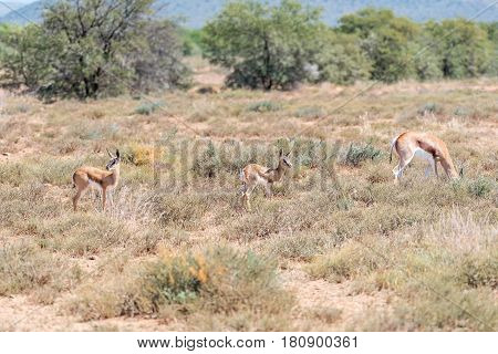 A springbok cow and two calves in the Karoo region of South Africa