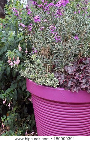 Purple Ceramic Planter with Blooming Purple Flowers