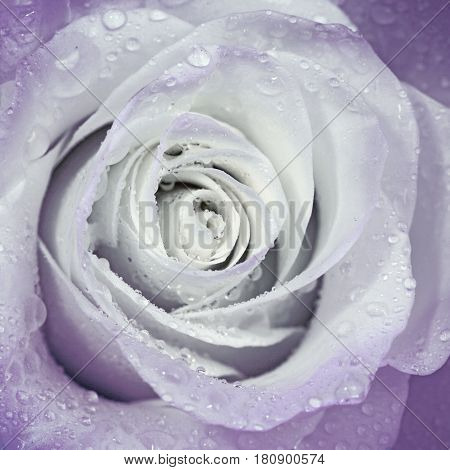 Beautiful flower rose  for decoration interior and postcard