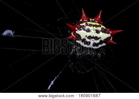 Gasteracantha cancriformis is an orb weaver spider species from the family. Especially the females are very striking by the sharp protrusions and bright colors.