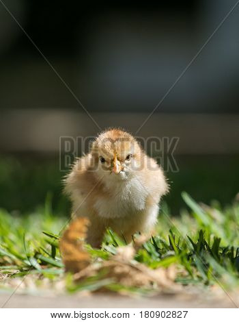 Close Up Image Of Baby Chickens Walking With Their Mother On The Grass Looking For Food