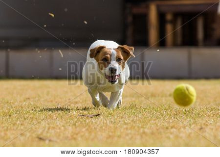Close Up Action Image Of A Jack Russel Dog Chasing After A Tennis Ball On A Lawn