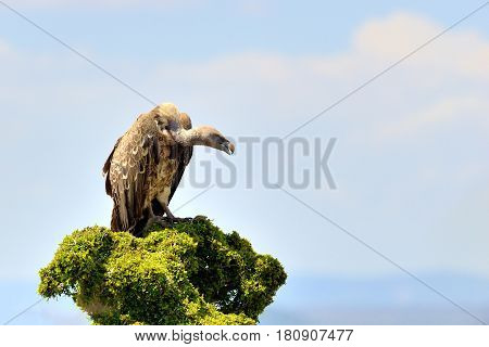 Vulture On Tree