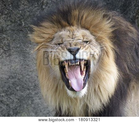 a male lion showing off his teeth while roaring