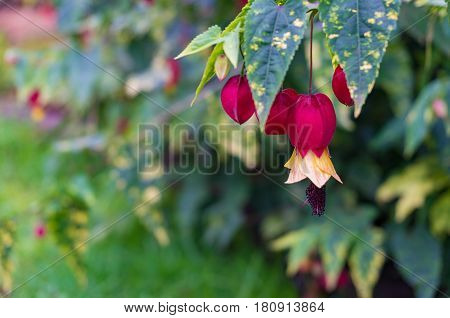 Floral Nature Background Of Colorful Indian Mallow Flowers
