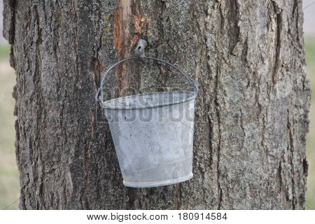 A bucket hangs to collect sap from a maple tree