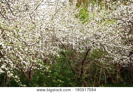 In the old garden overgrown with grass and bushes bloom profusely old Apple trees heralding the harvest.