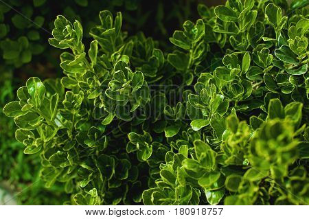 Dark green foliage of a healthy plant with serrated leaves glistening. Low key, horizontal background or banner.