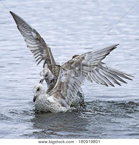 Juvenile european herring gulls fighting in water
