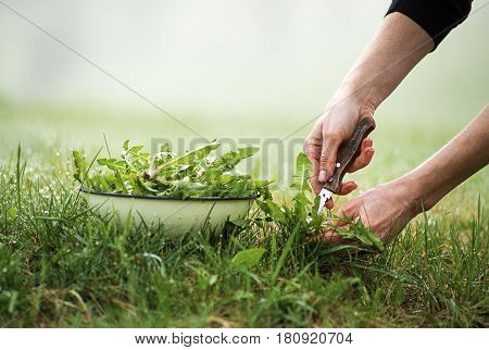 Picking with knife a fresh dandelion in nature