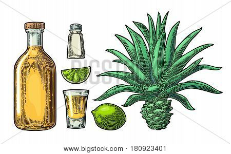 Glass and bottle of tequila. Cactus blue agave salt and lime. Hand drawn sketch set of alcoholic cocktails. Vintage color vector engraving illustration for label poster. Isolated on white background