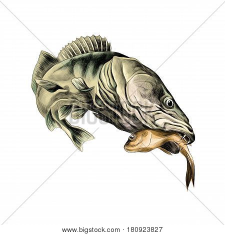 predatory fish pike caught and is holding in its mouth a dead small fish sketch vector graphics color picture