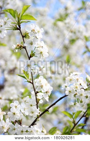 Cherry blossom. Spring blossom background. Blossom tree. Summer print. Spring print. Cherry flowers. Cherry tree branch