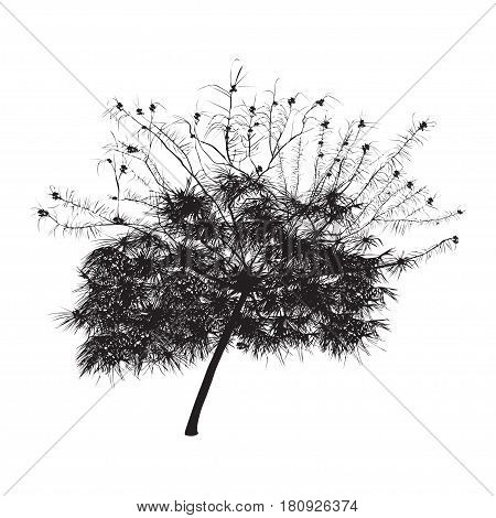 Acacia silhouette with flowers in the summer on a white background