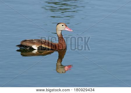A Black-bellied Whistling Duck on a pond in Florida