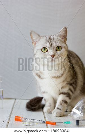 Veterinary clinic and grey cat with syringe