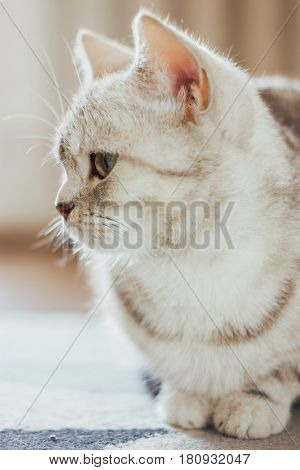 Close-up View Of The Beautiful Scottish Cat. Scottish Straigth Breed - Cat Colored With The Silver M