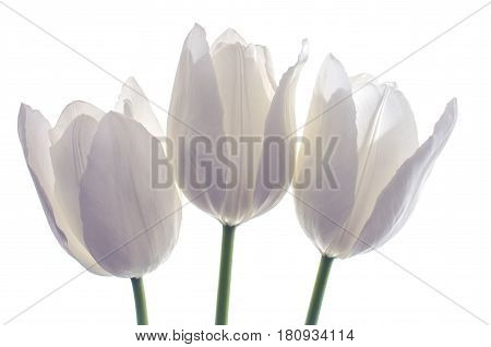 white spring flowers tulips on white background