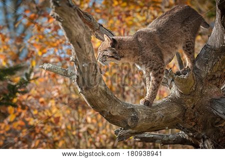 Backlit Bobcat (Lynx rufus) In Branches - captive animal