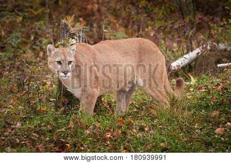 Adult Male Cougar (Puma concolor) in Front of Stump - captive animal