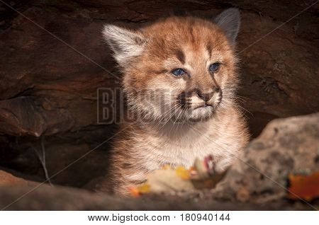 Female Cougar Kitten (Puma concolor) Sits in Rock Crevice - captive animal