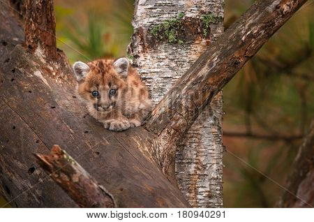 Female Cougar Kitten (Puma concolor) Looks Out from Tree - captive animal
