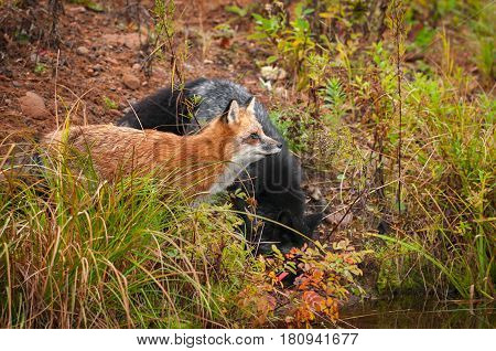 Red Fox (Vulpes vulpes) and Silver Fox on Shore - captive animal