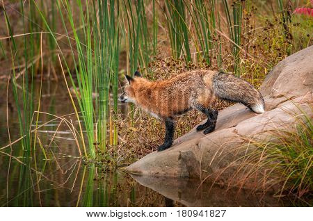 Red Fox (Vulpes vulpes) Stands on Slope of Rock - captive animal