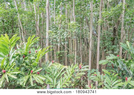 Eucalyptus and Ginger Flowers: a forest of young Eucalyptus tress and ginger plants and flowers, in the foreground