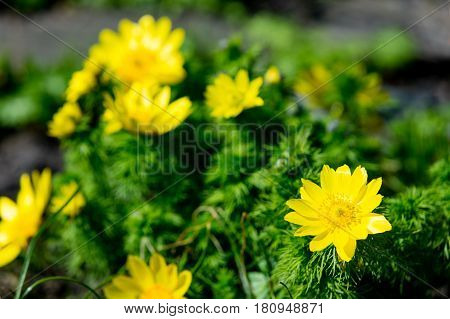 Photo Of Beautiful Yellow Blooming Adonis Vernalis Flowers With Wonderful Petals