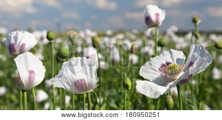 Detail of flowering poppy or opium poppy in Latin papaver somniferum poppy field white colored poppy is grown in Czech Republic