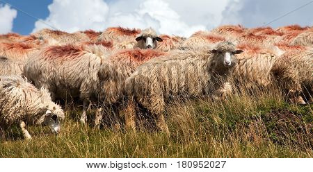 herd of sheep in alps dolomites mountains ovis aries sheep is typical farm animal on mountains