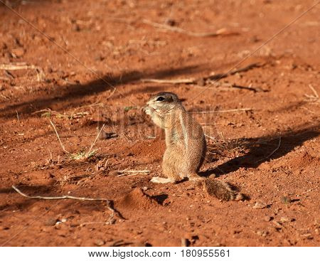 Picture of an African ground squirrel in Madikwe game reserve, South Africa.