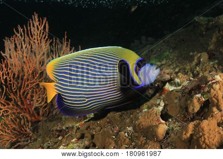 Emperor Angelfish fish in ocean