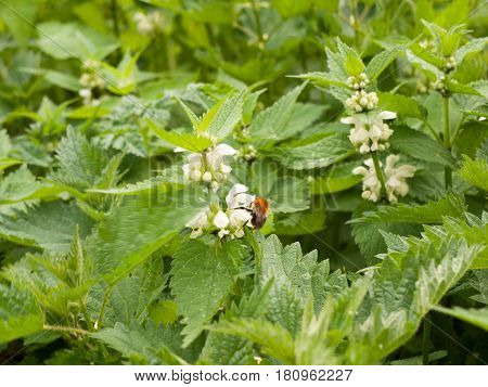 A Bee Eating The Pollen From A White Flower On Nettle Plant
