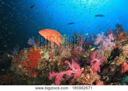 Grouper fish coral reef underwater
