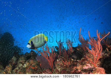 Emperor Angelfish reef fish and underwater coral