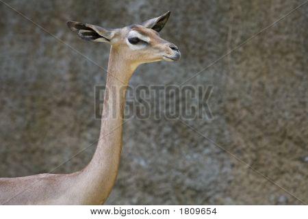 Horizontal image of a Gerenuk in a zoo enclosure. poster
